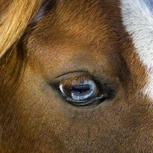 Pupila del caballo