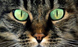 Pupila gato