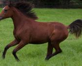 ¿De qué raza descienden los caballos modernos?