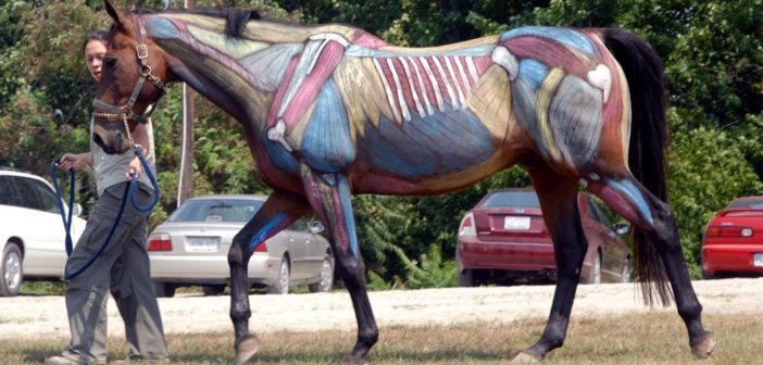 La importancia de la musculatura del core del caballo