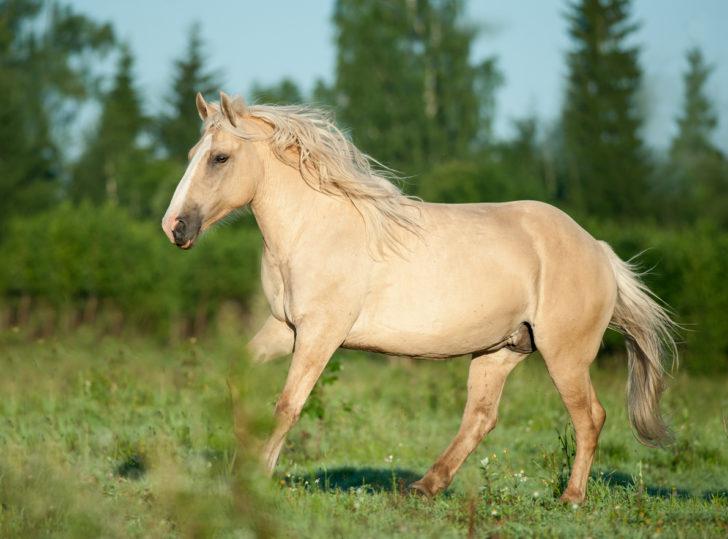 La belleza del caballo Palomino o Isabelino