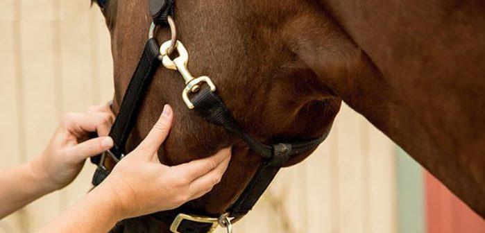 Las constantes vitales de un caballo sano y cómo medirlas