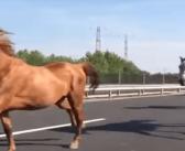 Una manada de caballos corriendo en libertad… por una autopista
