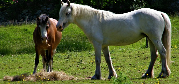 Cólicos en caballos: evita distribuir la alimentación diaria de tu caballo en pocas dosis
