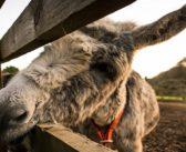 La población de burros podría disminuir drásticamente los próximos cinco años para satisfacer la demanda de la medicina China