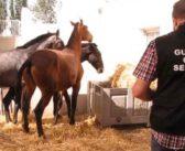 En 2017 se vendió carne ilegal de caballo para consumo humano