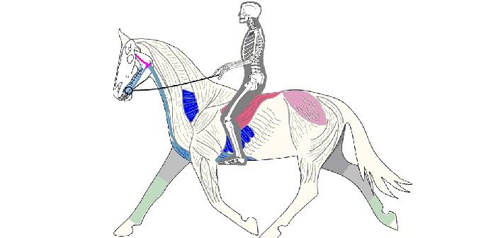 8 músculos clave en equitación