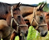 La RFHE informa sobre el cuidado de los caballos ante el Estado de Alarma