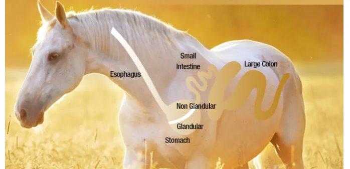 Cómo identificar si nuestro caballo tiene úlceras gástricas