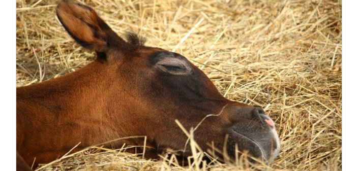 Los peligros de la falta de sueño en los caballos